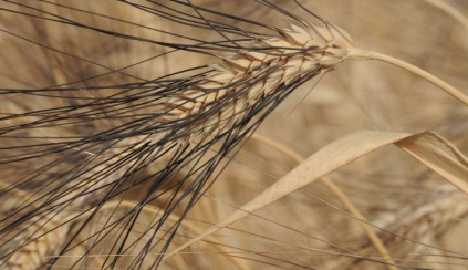 Old wheats (chpt. 1) : Cappelli drum wheat