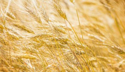 Old wheats (chpt.3) : burnt wheat