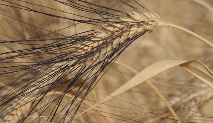 Old wheats (chpt. 1) : Cappelli drum wheat