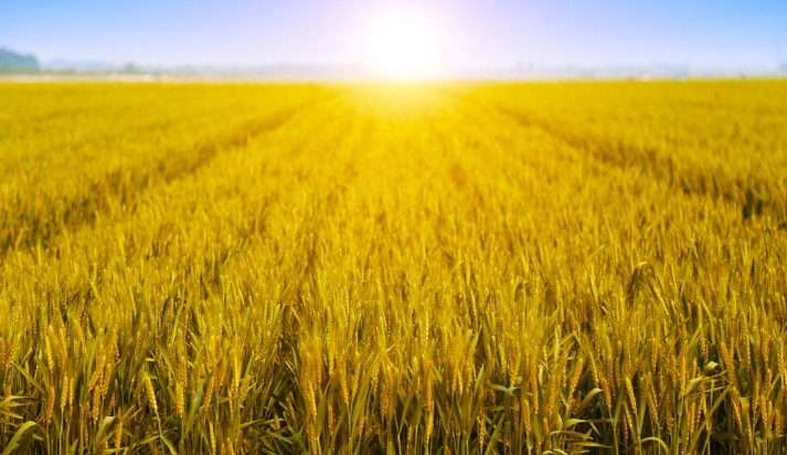 Il grano duro di Tumminia
